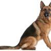 German Shepherd Facts: A One Man Dog