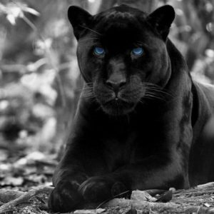 Panther Facts: 20 Amazing Facts about Panthers