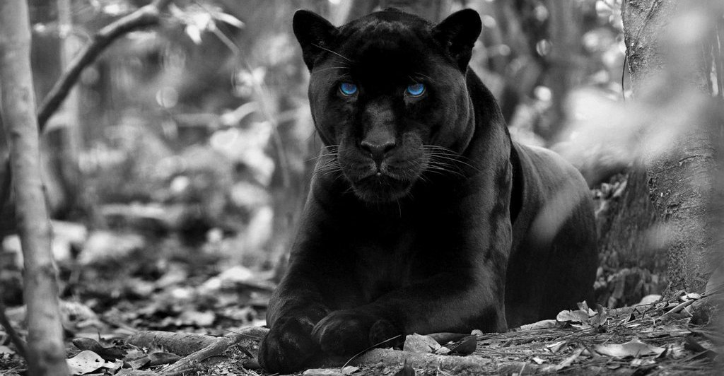 facts about panthers