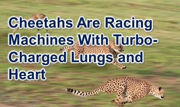 cheetah facts - interesting facts about cheetahs