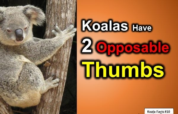 interesting facts about koala