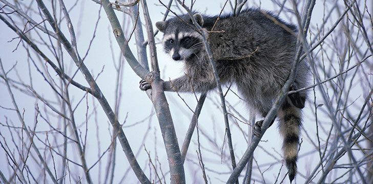 Fascinating Facts About Raccoons