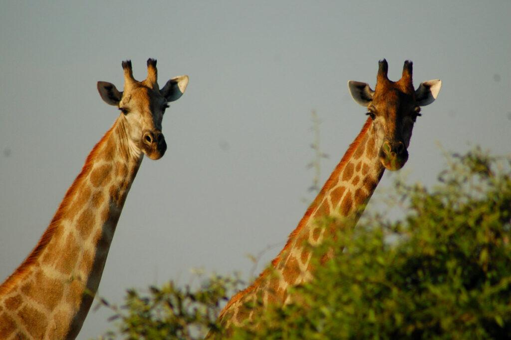 2 giraffe heads