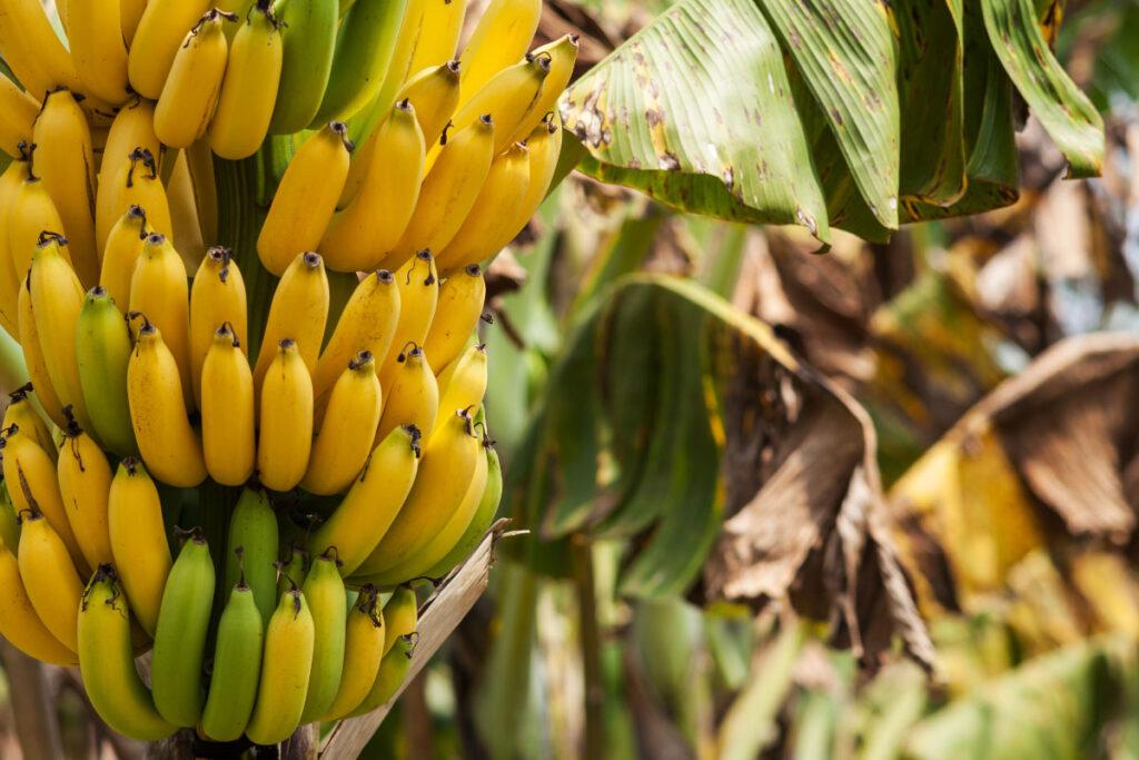 bananas hanging on a tree