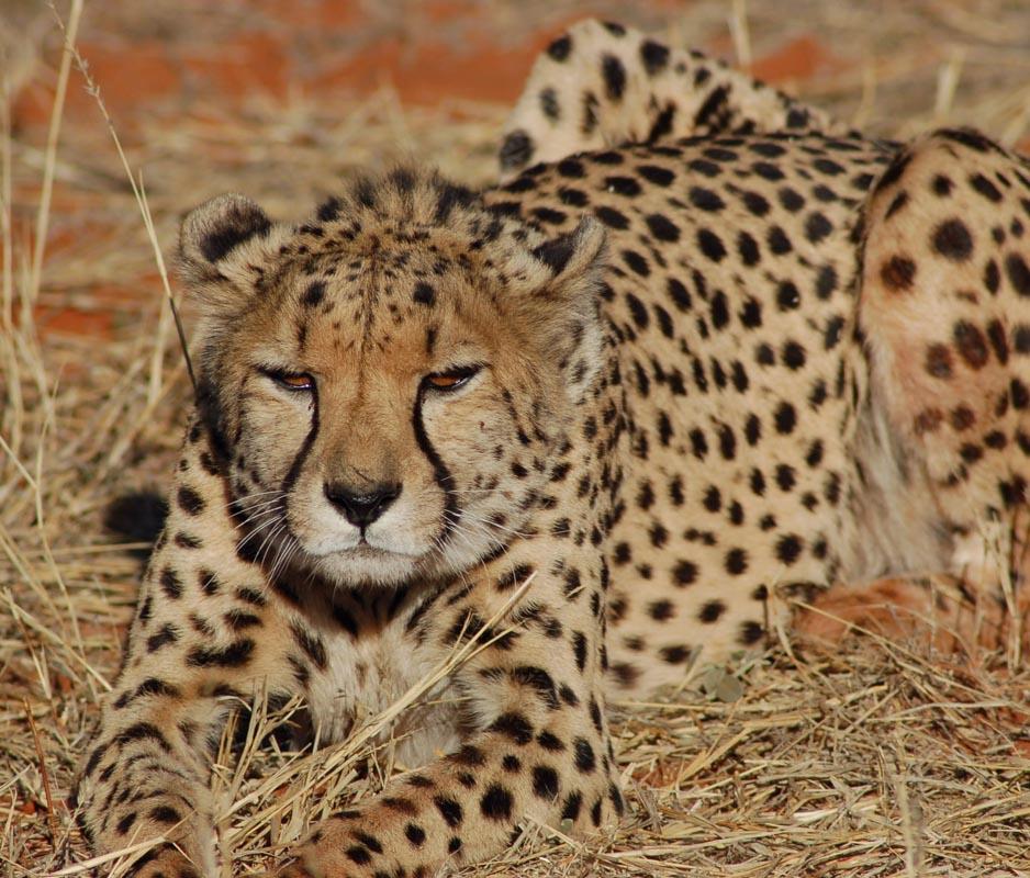 cheetah 4.