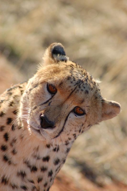 cheetah 9