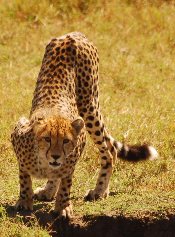 cheetah in africa 2