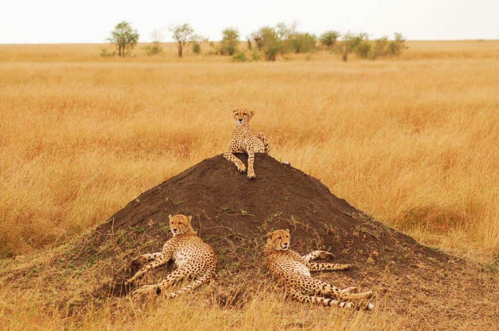 cheetah in africa group of 3
