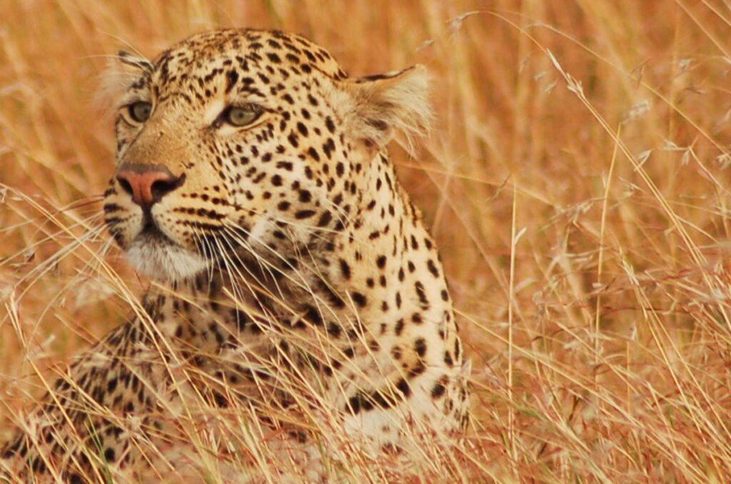 cheetah in africa long grass