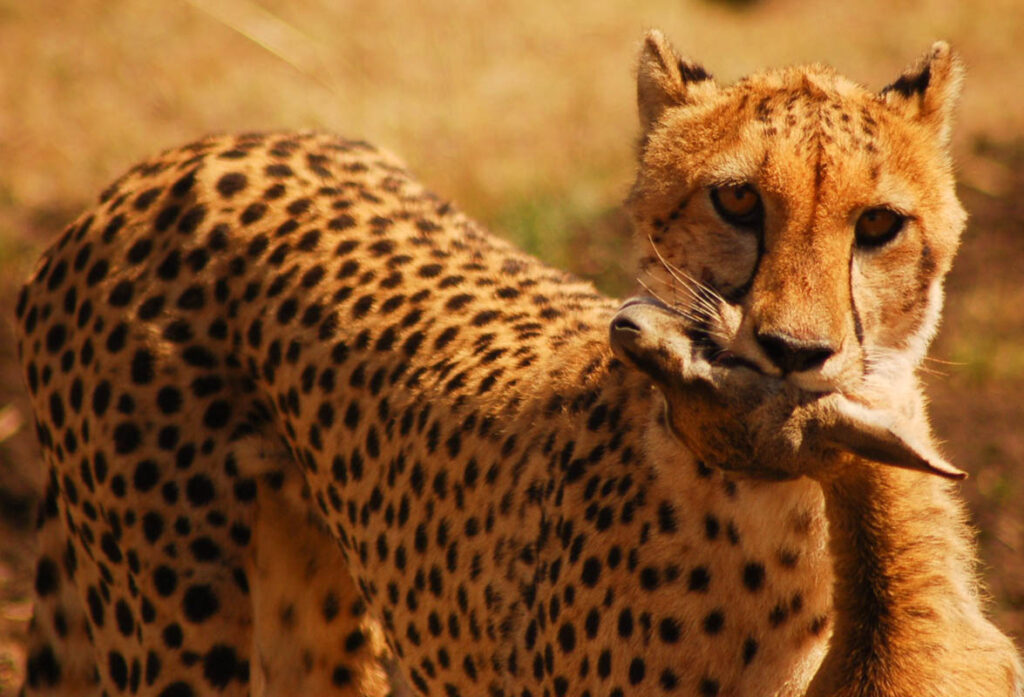 cheetah in africa with kill