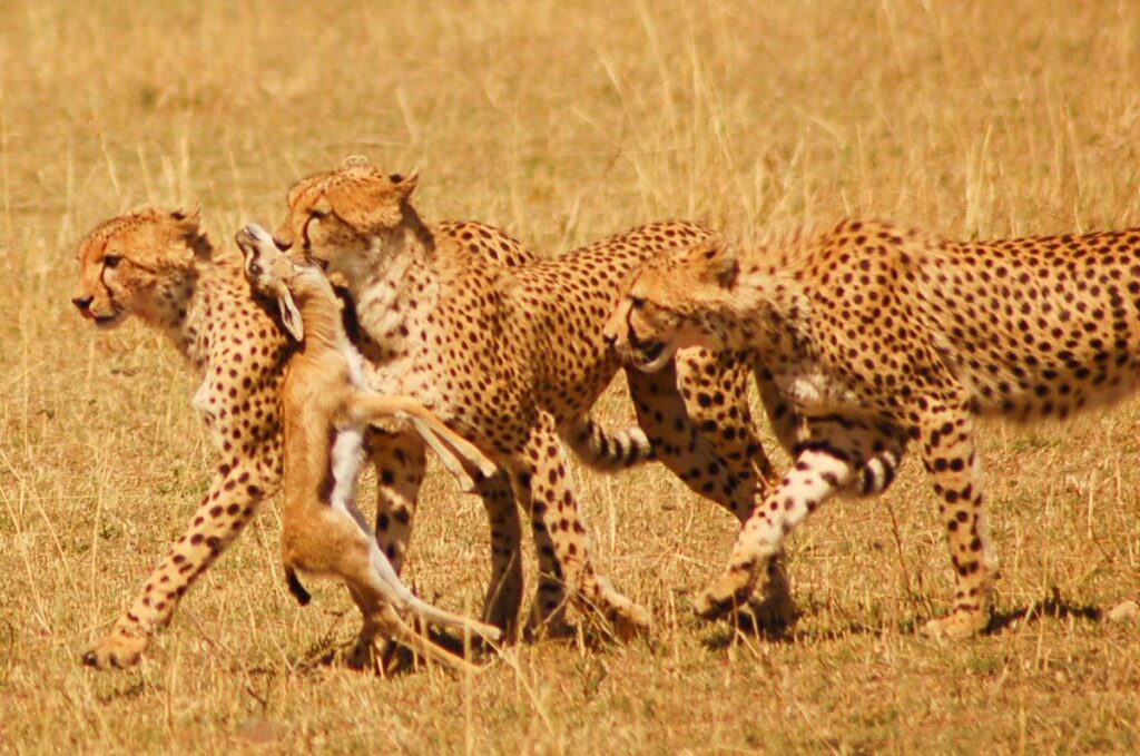 cheetah in africa with kill group interesting cheetah facts