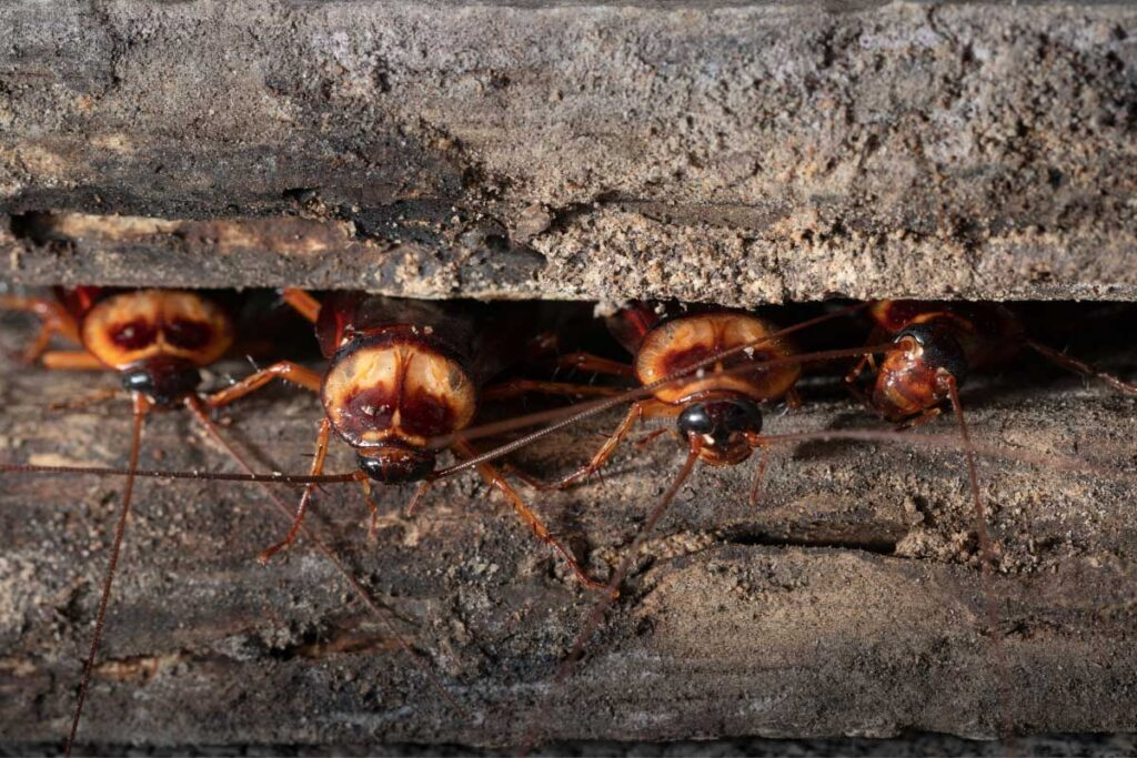cockroaches in wood