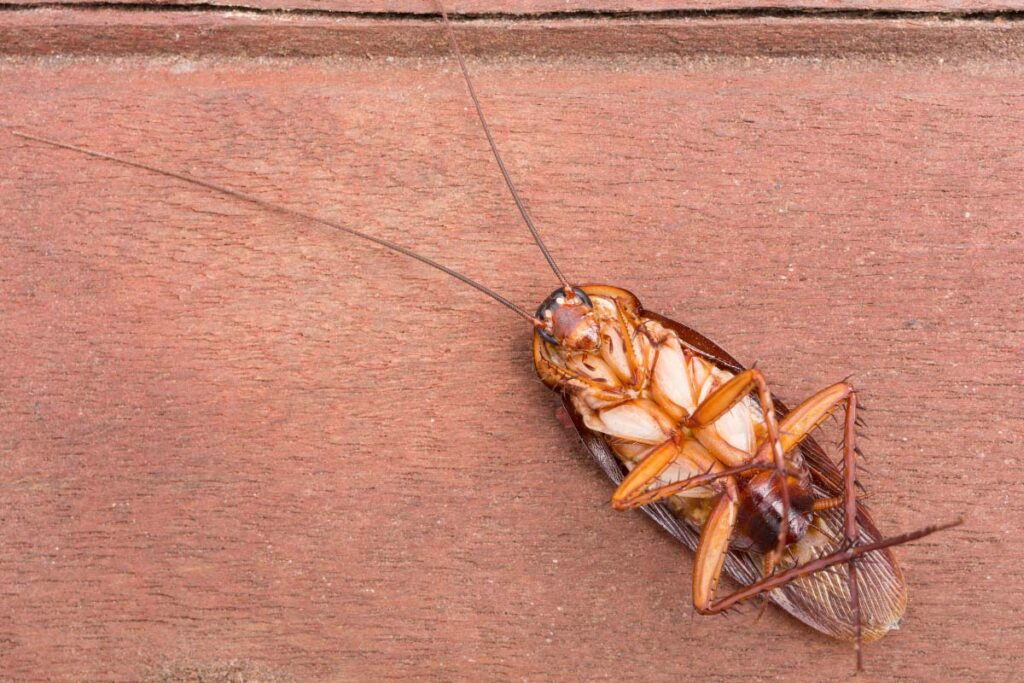 dead cockroach
