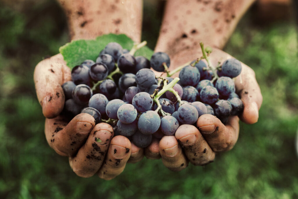 dirty hands hold punnets of grapes facts about grapes