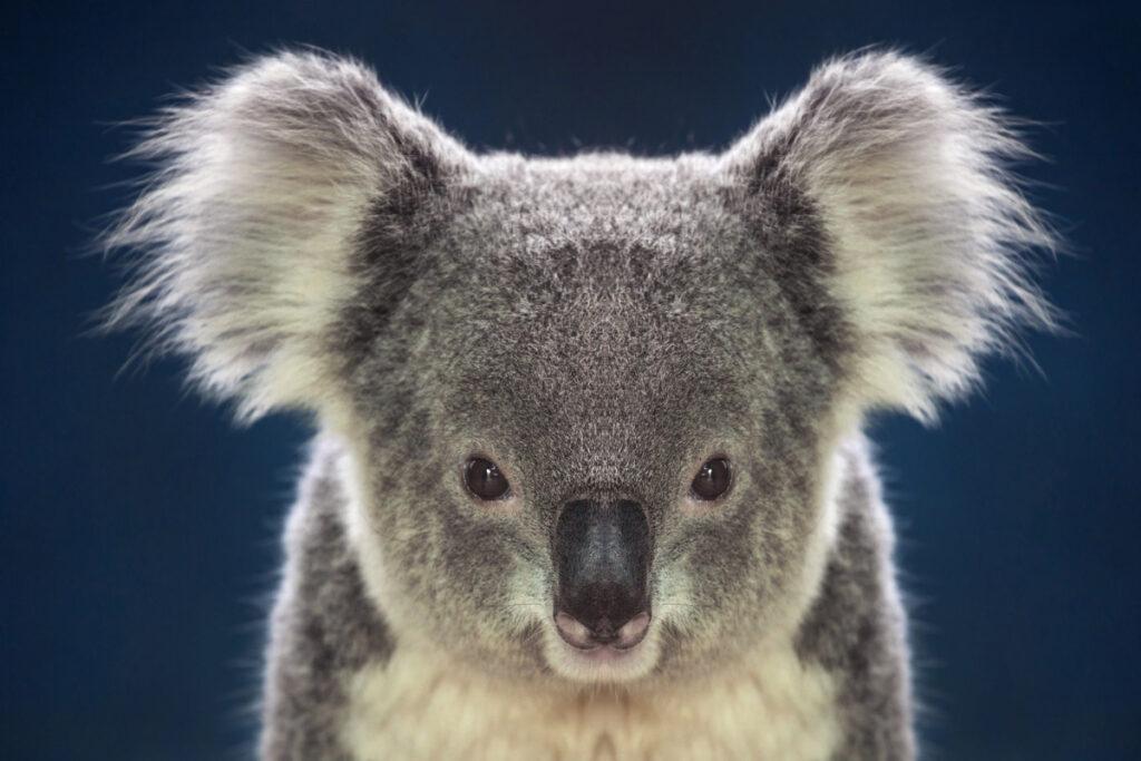 facts about koalas