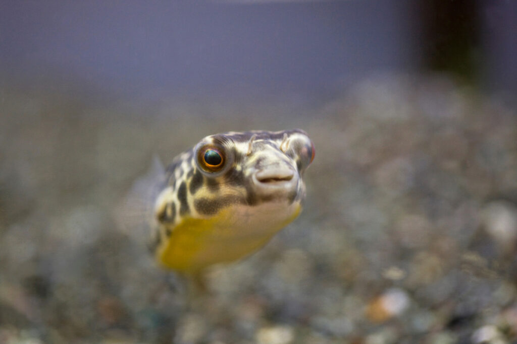 facts about puffer fish