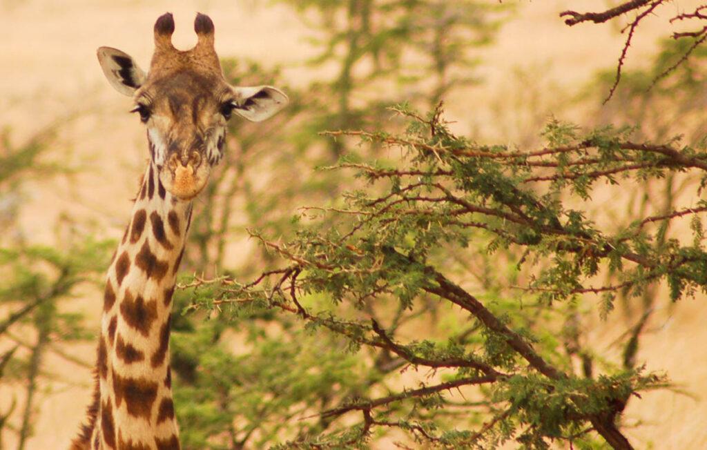giraffe head in trees
