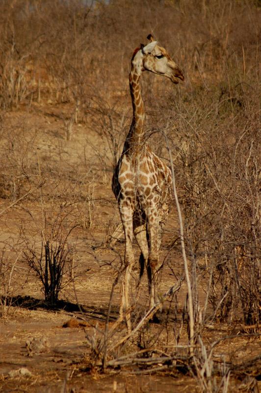 giraffe in the brush
