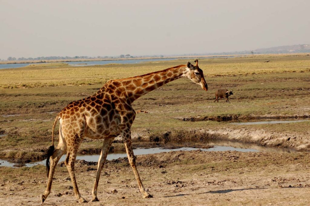 giraffe near watering hole