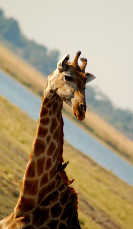 interesting facts about giraffes