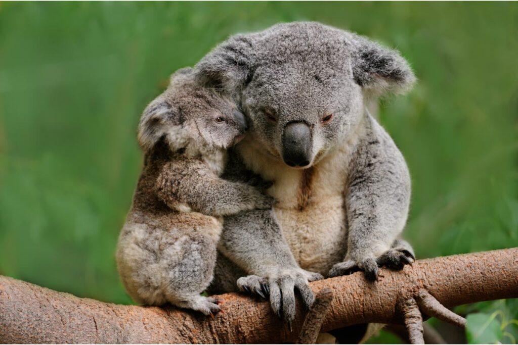 koala mum and joey in tree