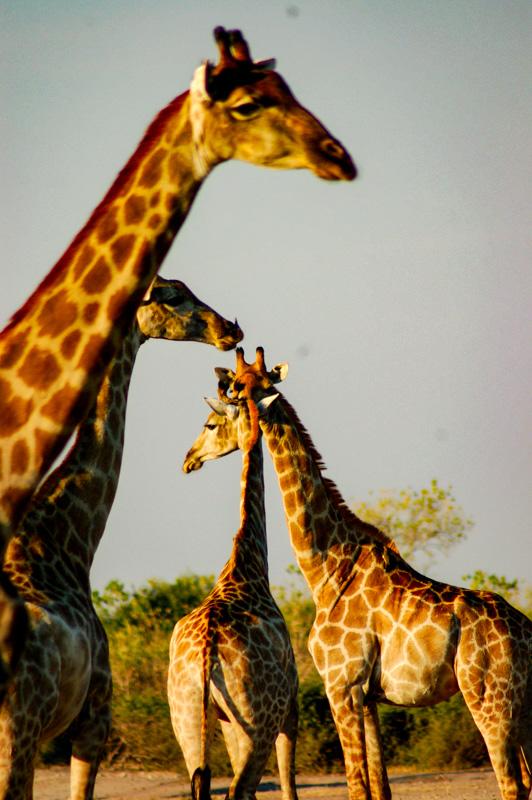 lots of giraffes