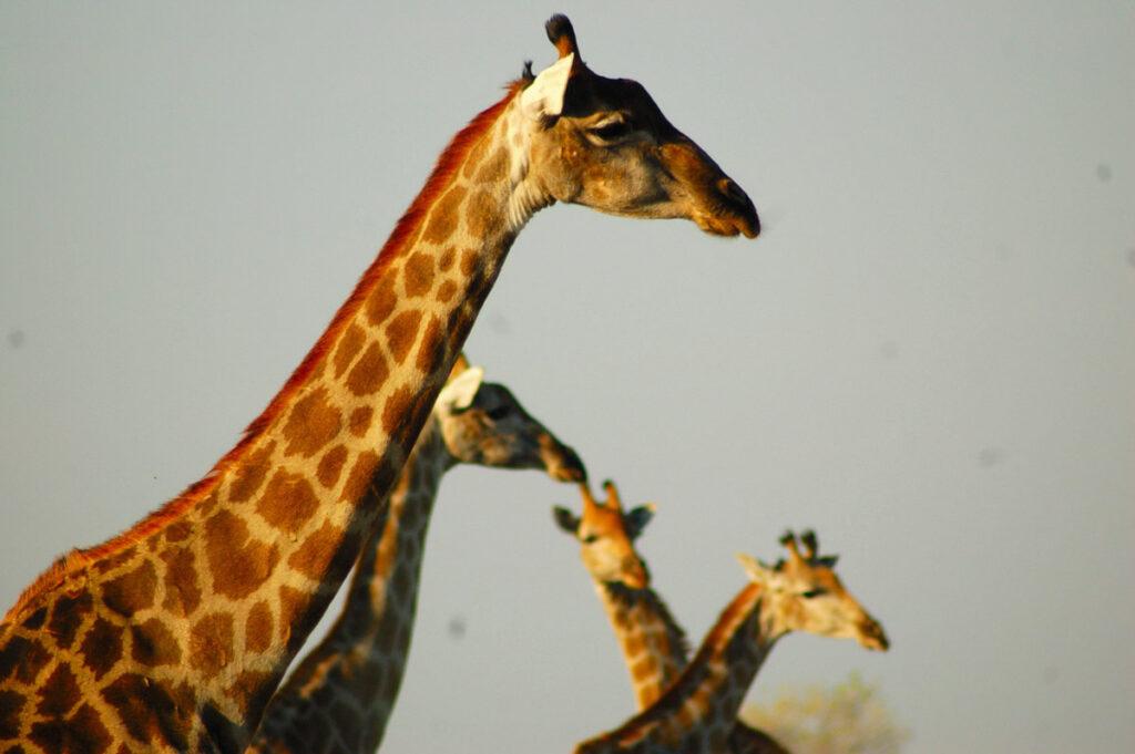 multiple giraffe heads