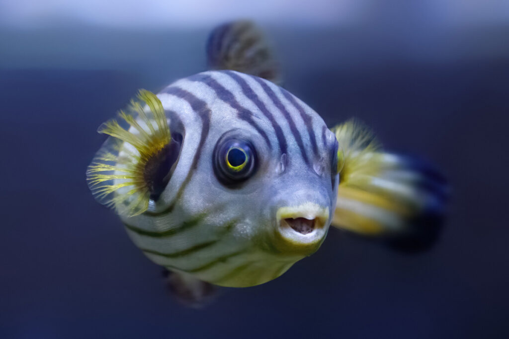 puffer fish puffed facts about the puffer fish