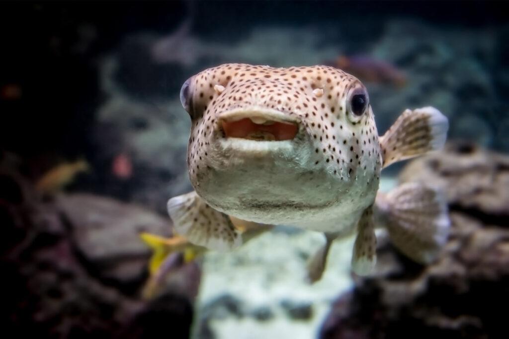 puffer fish swimming