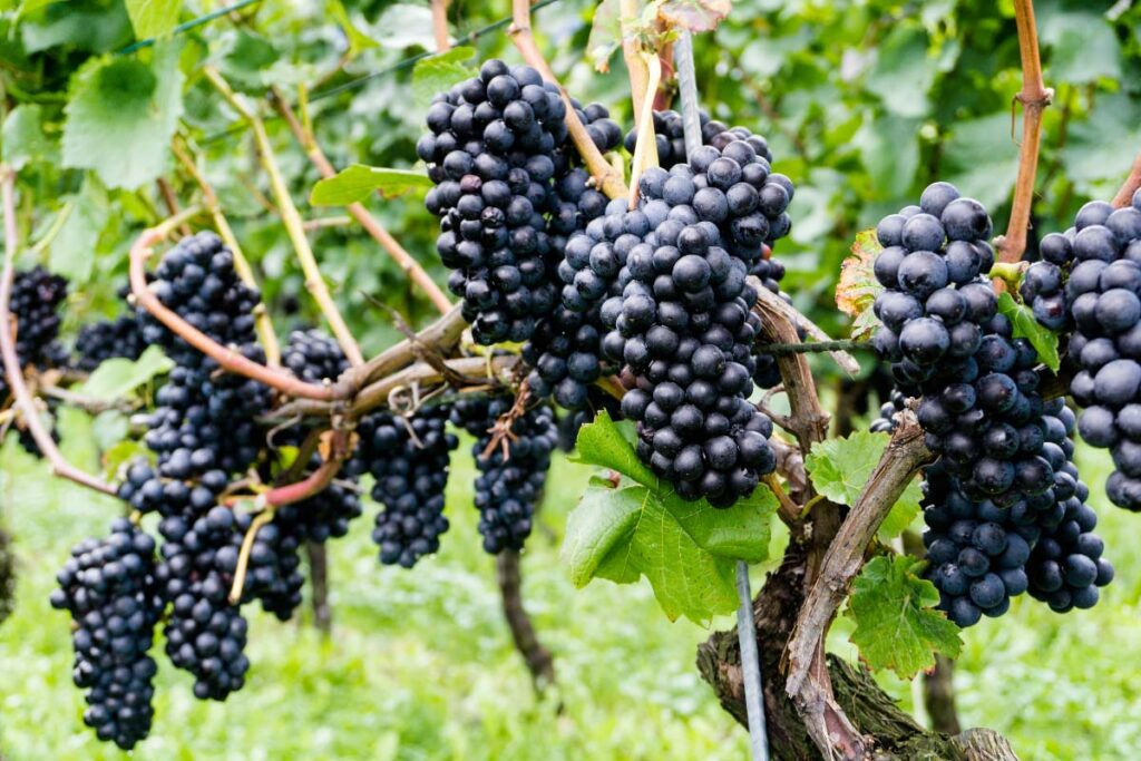 punnets of grapes on vines
