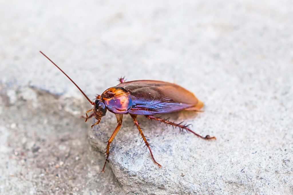 single cockroach