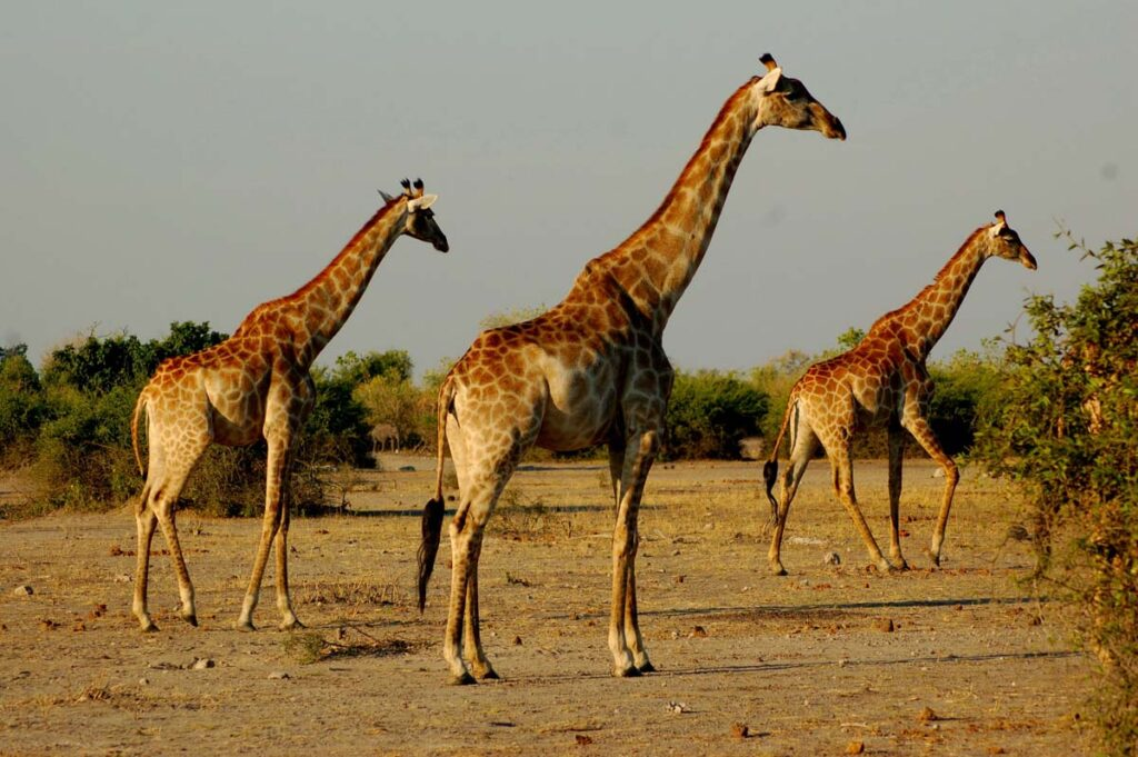 three giraffes in same direction