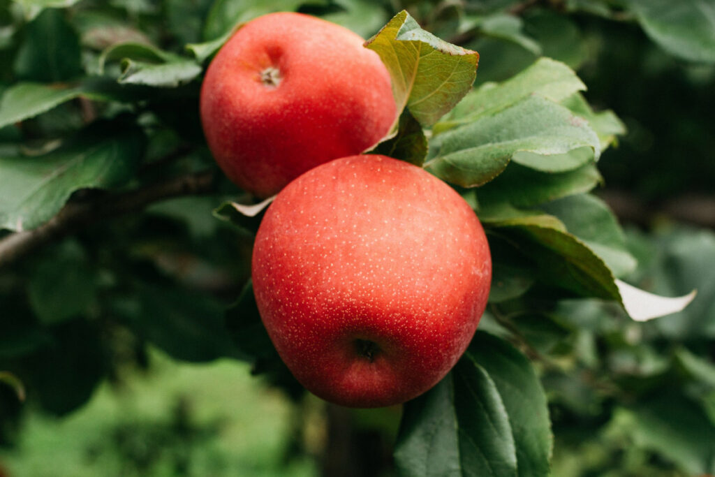 two apples on a tree facts about apples
