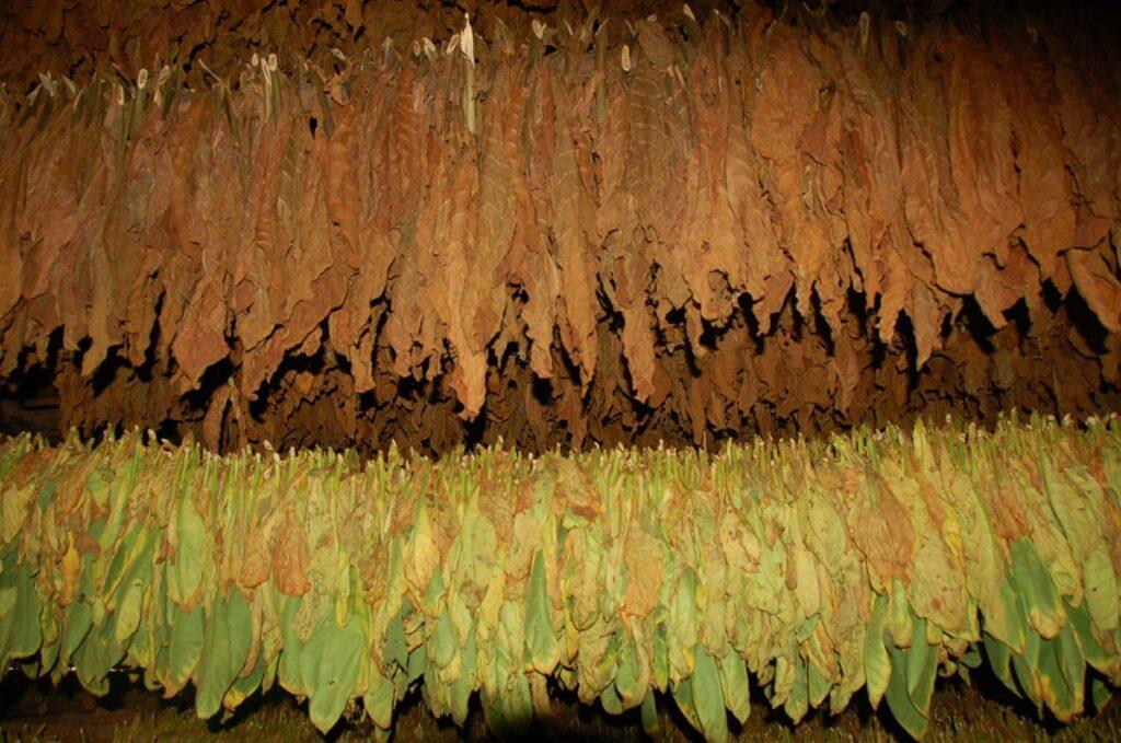 tobacco drying cuba